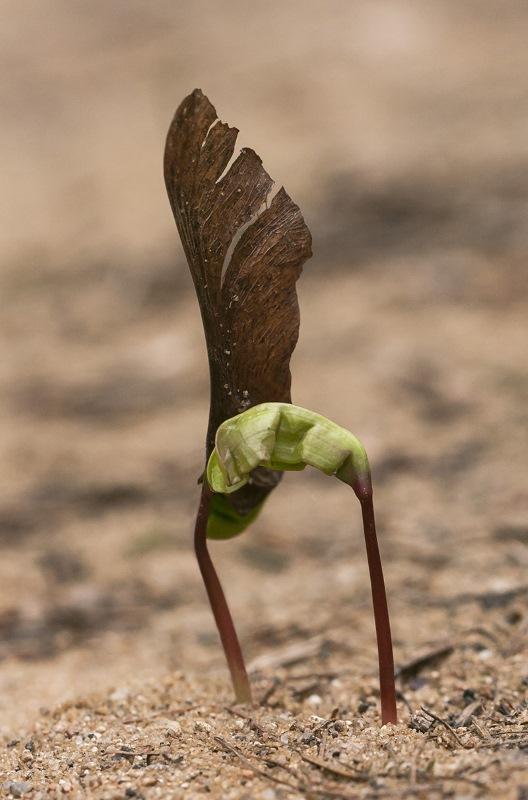 Проросшие семена клена остролистного
