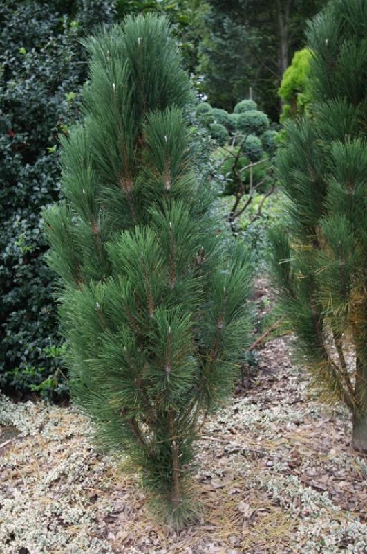 Pinus nigra Scholz