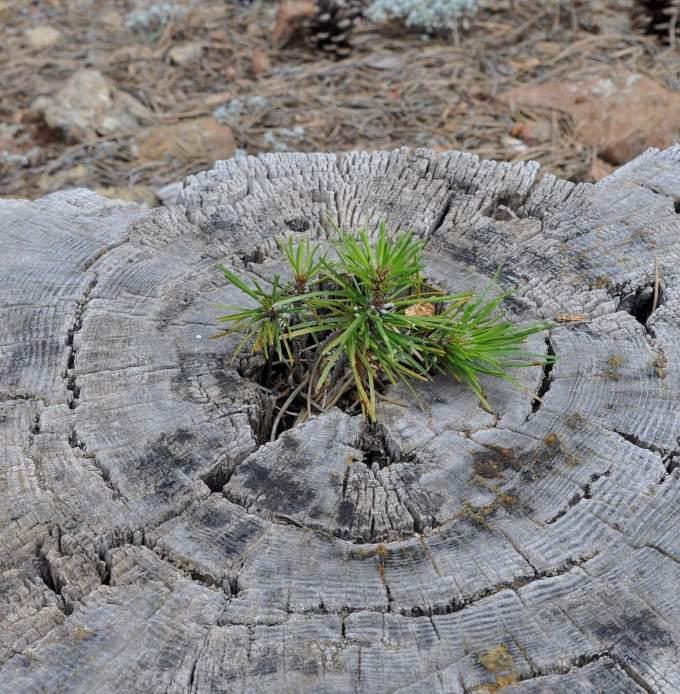Ростки черной сосны растующие из пня