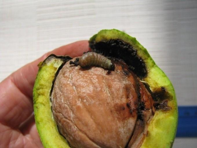 Ореховая плодожорка