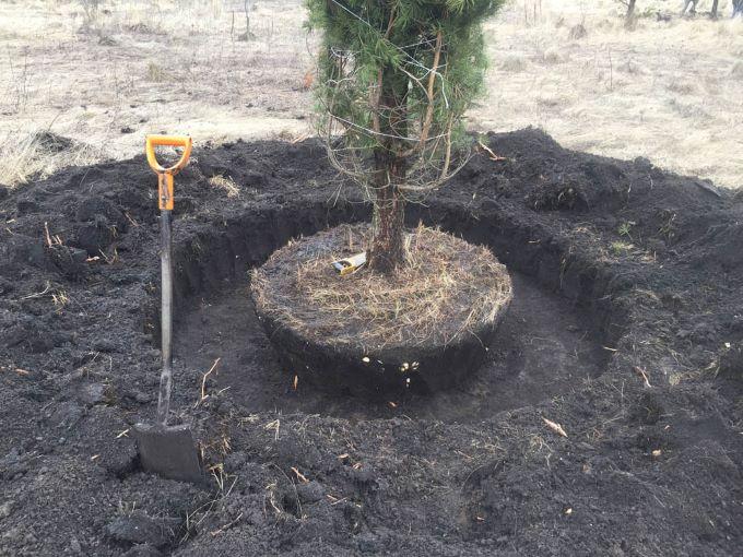 Процесс посадки сосны