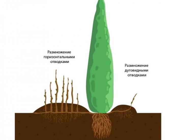 Размножение туи отводками и делением корня