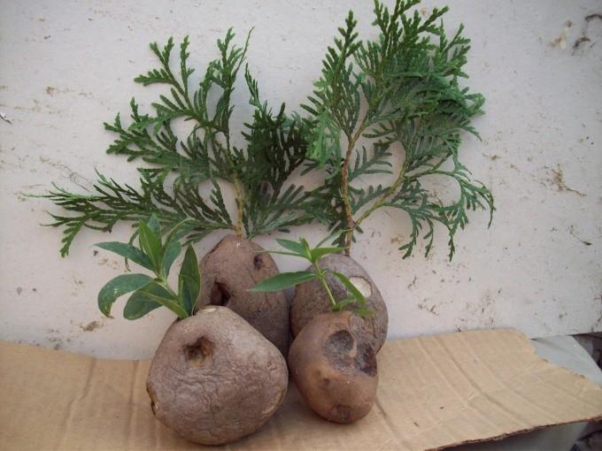 Укоренение черенков в картофеле