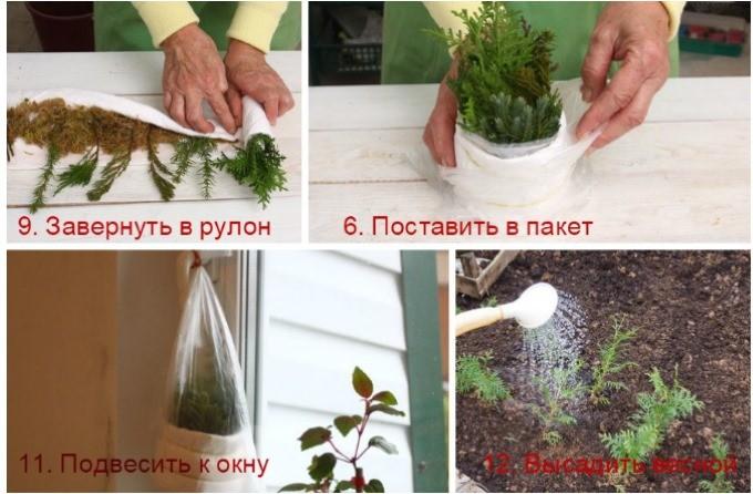Проращивание черенков туи