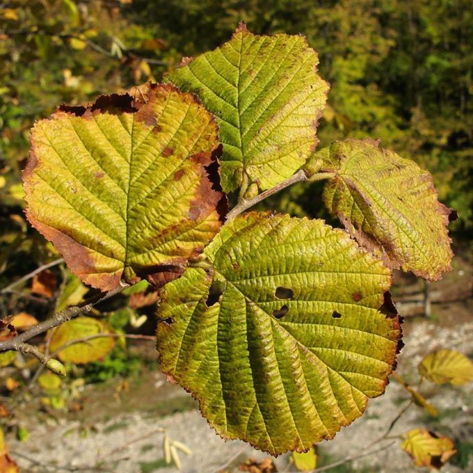 Поврежденные листья лещины