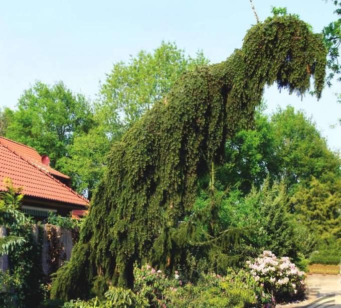 Ель сербская Пендула в ландшафтном дизайне